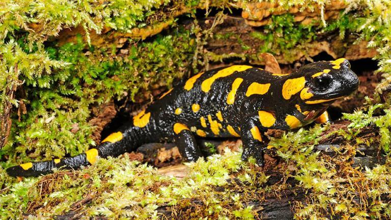 Der Feuersalamander ist in Europa weit verbreitet. Dabei hat er sich in etwa 14 Unterarten aufgespalten. Ein großes Areal in Mittel- und Osteuropa besiedelt Salamandra salamandra salamandra. | Benny Trapp