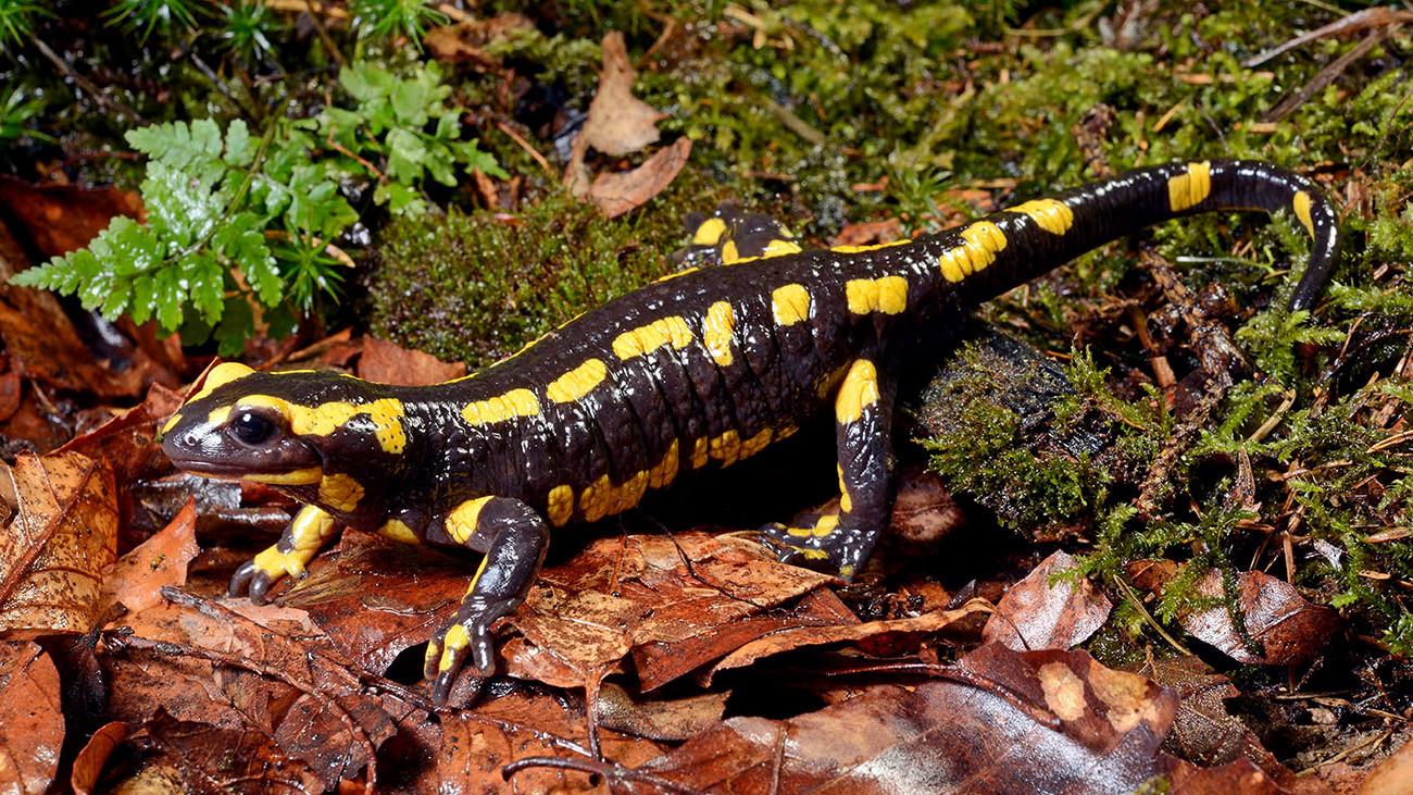 Salamandra salamandra terrestris bewohnt große Teile des westlichen Mitteleuropas. | Benny Trapp
