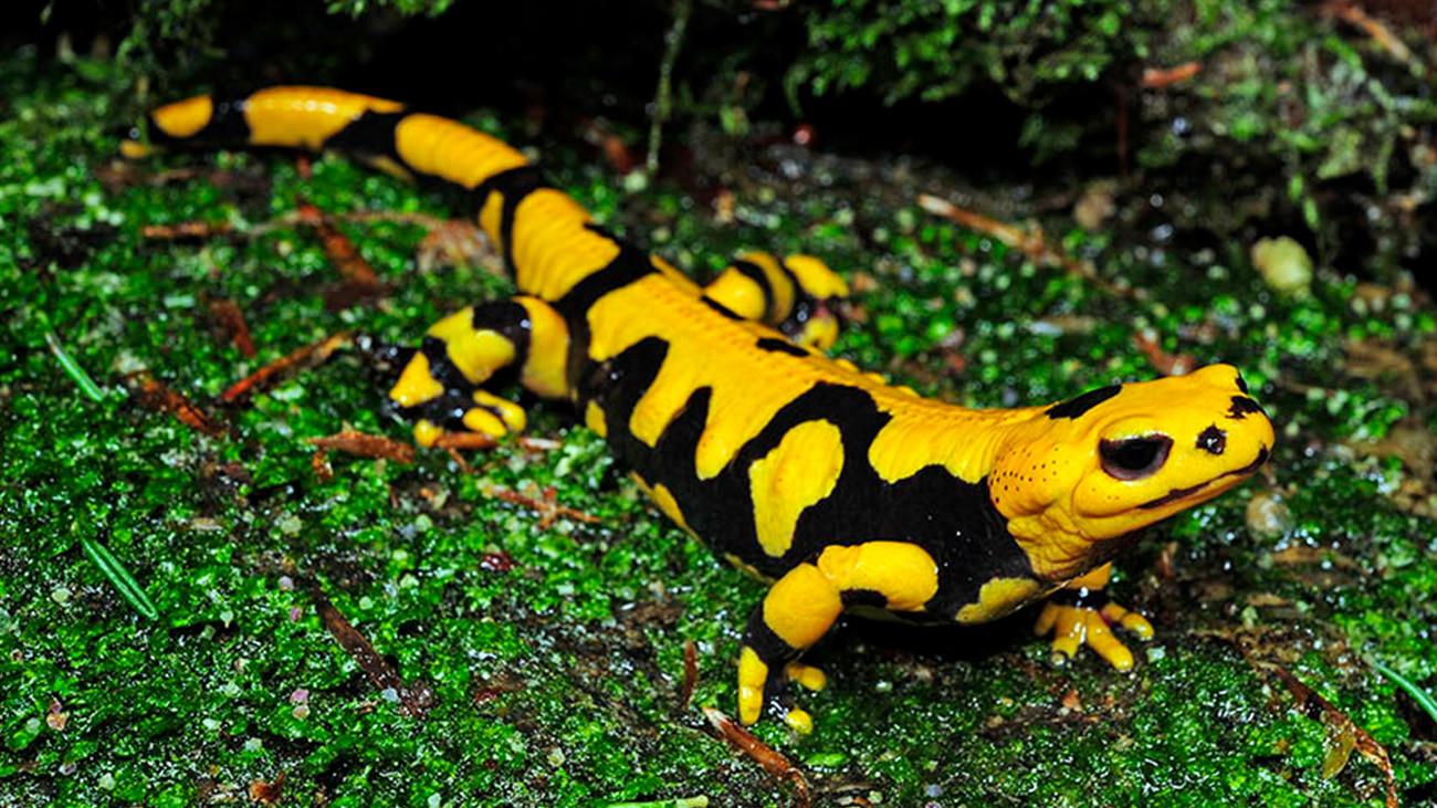 Salamandra salamandra giglioli kommt nur im italienischen Kalabrien vor. | Benny Trapp