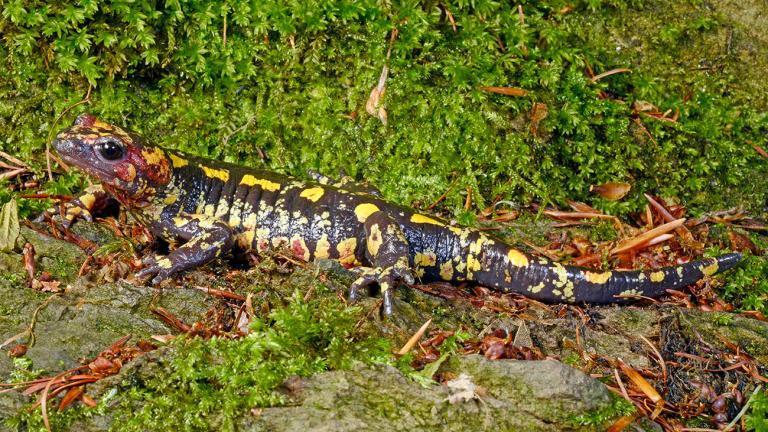 Salamandra salamandra galaica besiedelt den Westen der Iberischen Halbinsel. | Benny Trapp
