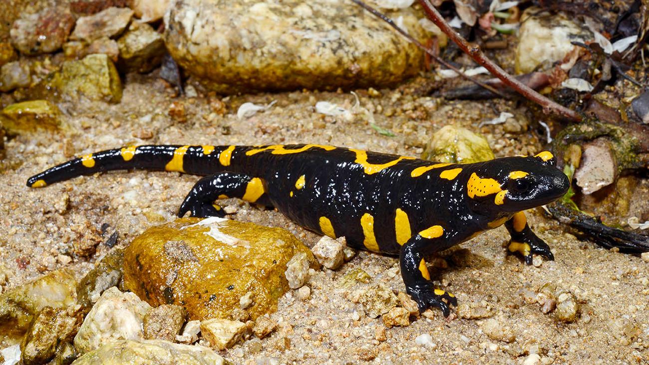 Bei so viel Vielfalt ist es schwierig, Grenzen zu ziehen: Salamandra salamandra beschkovi aus Bulgarien wird heute meist nicht mehr als eigene Unterart anerkannt. | Benny Trapp