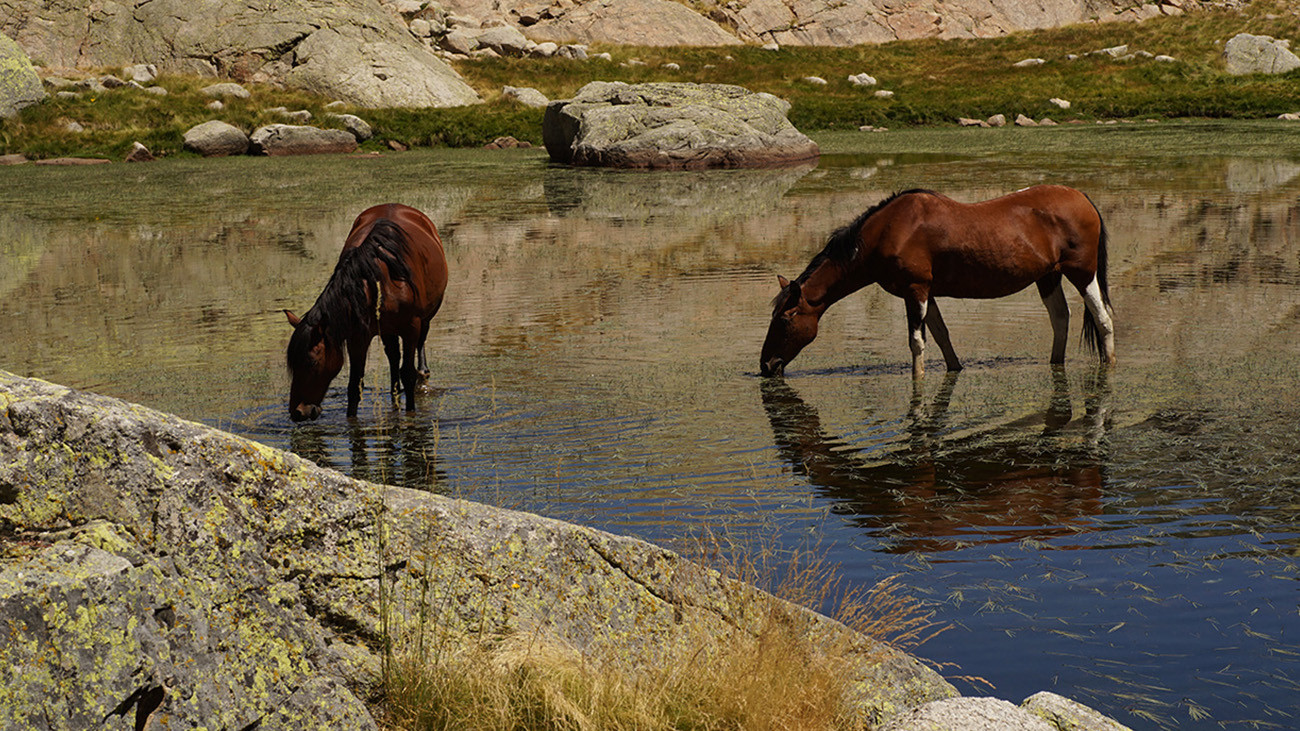 Auch hier keine unberührte Natur – frei herumlaufendes Vieh beeinflusst den Hochgebirgslebensraum. | Philip Gerhardt