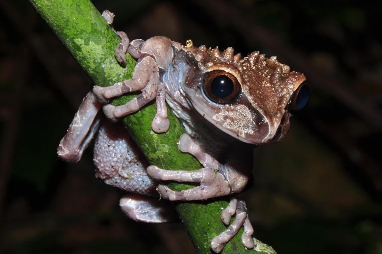 The Spiny-headed tree frog Triprion spinosus has an amazing reproductive strategy that was only became clear through Karl-Heinz's terrarium observations. When researchers found the first tadpoles…