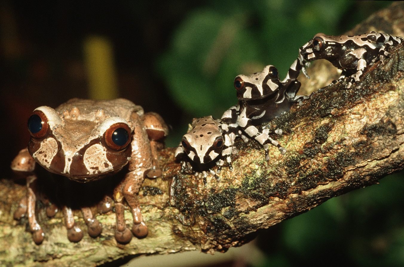Female Spiny-headed tree frogs with their newly metamorphosed young. | Karl-Heinz Jungfer