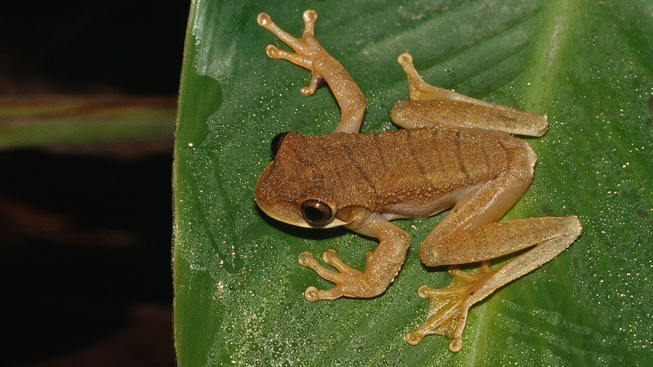 In the case of Osteocephalus mutabor tree frogs, not only do males…