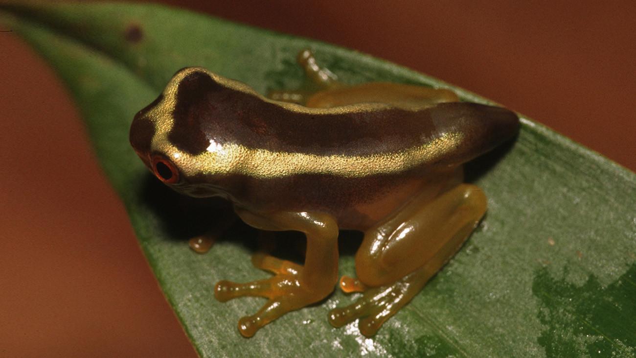... sehen die Jungfrösche völlig anders aus, sodass man in der Natur gar nicht erkennen kann, welcher Frosch zu welcher Art gehört. So wurden schon mal Jungtiere versehentlich als eigene Art beschrieben. Im Terrarium konnte Karl-Heinz dann klären, wer überhaupt wer ist.