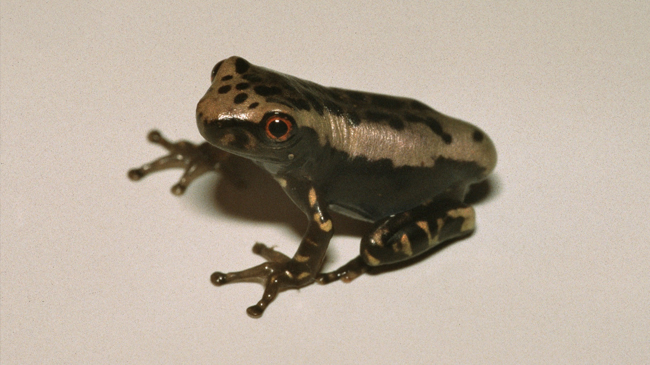 … and a young frog of the same species, which we now recognize thanks to Karl-Heinz. | All photos by Karl-Heinz Jungfer