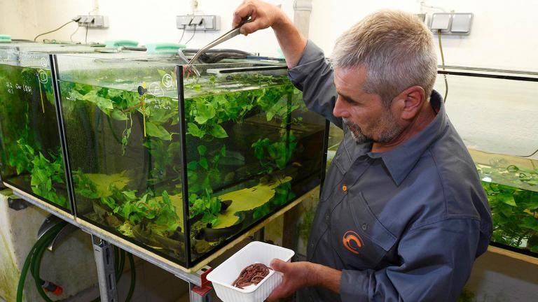 An easy life: In clean water, fed by Thomas, and without any danger from fish or fishermen, the Lake Pátzcuaro Salamanders live in a salamander paradise in the Vienna cellar. | Benny Trapp, Frogs & Friends