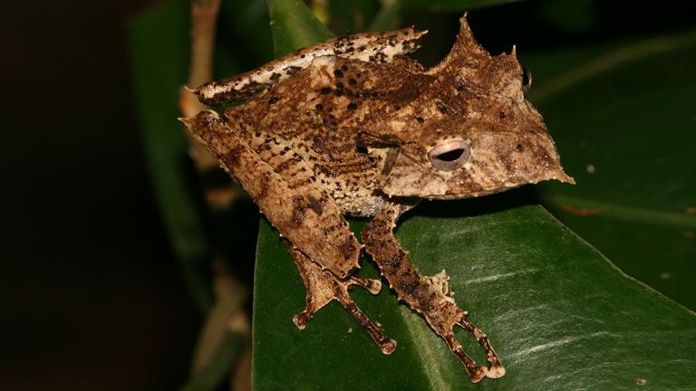 A highlight: the bizarre Sumaco Horned tree frog (Hemiphractus proboscideus) from the Amazon Basin. The females carry their eggs on their backs until the baby frogs hatch. | Tobias Eisenberg