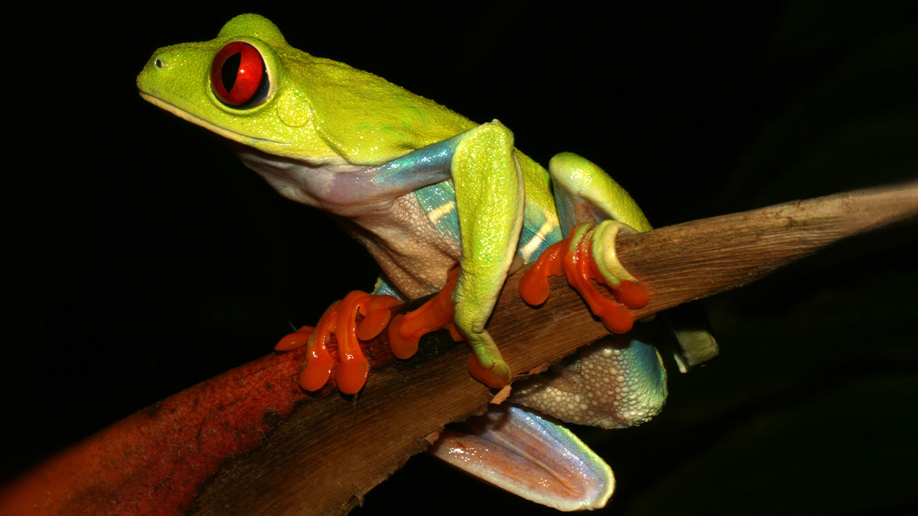 One of the most common and most charismatic Central American frogs is the Red-Eyed Treefrog (Agalychnis callidryas). The beautiful frogs are often kept in terrariums, and were among the first frogs that Tobias himself bred.  | Tobias Eisenberg