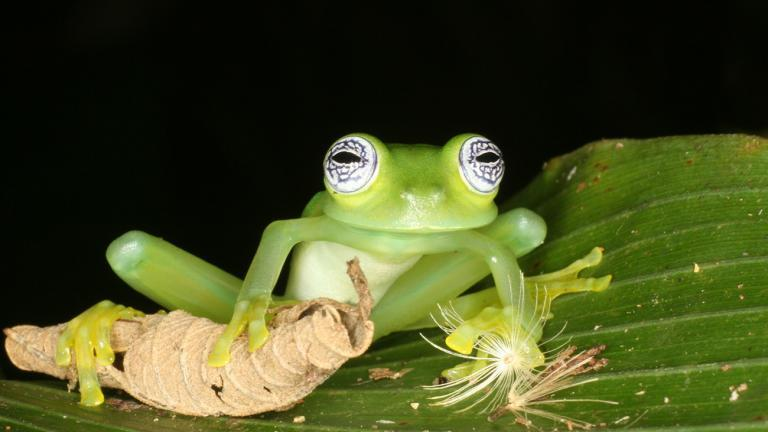 Glass frogs also fascinate Tobias. A notable feature of this diverse group of frogs: their stomach is usually so transparent one can look inside. | Tobias Eisenberg