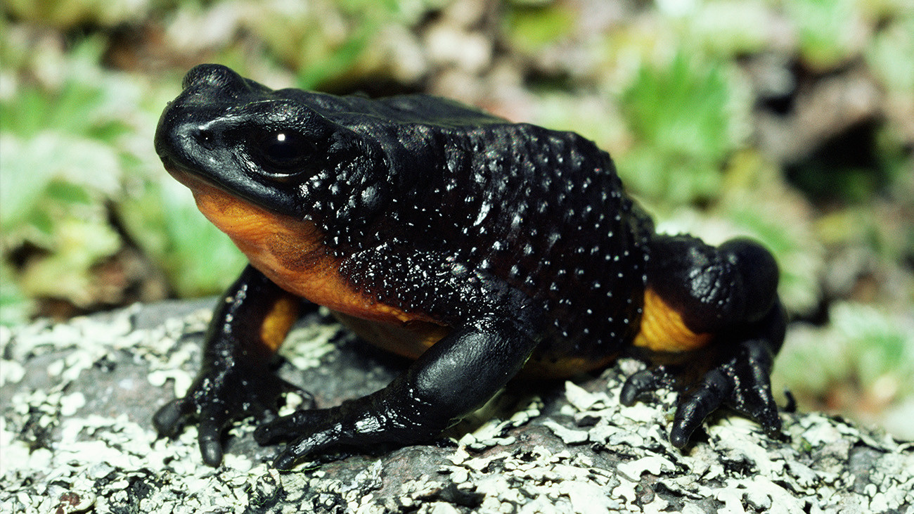 The Stubfoot Toad Atelopus ignescens from the highlands of Ecuador disappeared without a trace. It was probably another victim of the chytrid fungus. | Michael & Patricia Fogden, Minden Picutres, Arco