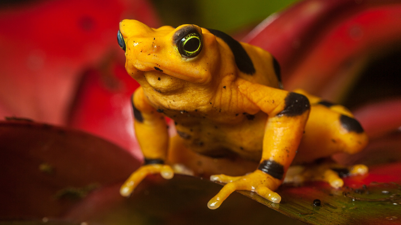The chytrid fungus also nearly brought the Cerro Campana Stubfoot Toad (Atelopus zeteki) to extinction. It can now probably only survive with the help of captive breeding. | K. Hanley, CHDPhoto, Shutterstock