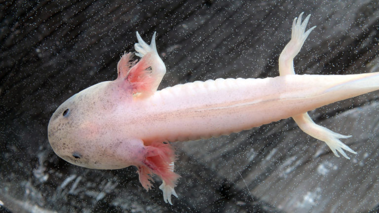The Axolotl is also very interesting for genetic scientists. There are currently several artificially bred Axolotl forms, such as the Albino Axolotl. | Kazakov Maksim, Shutterstock