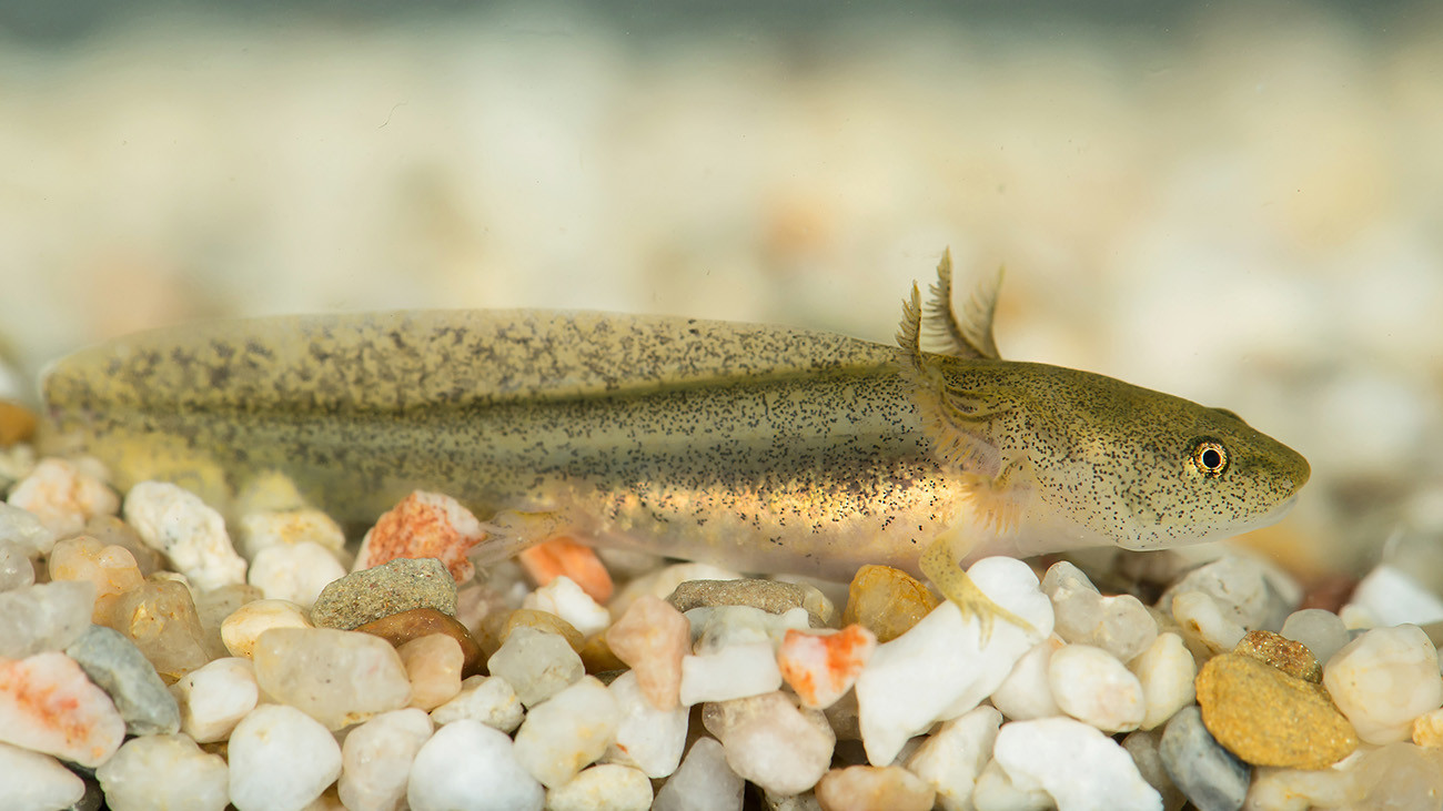 A young Lake Pátzcuaro Salamander larva. Its species also retains many larval attributes in adulthood. | Daniel Zupanc, Tiergarten Schönbrunn