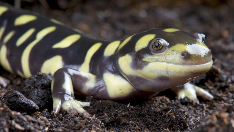 Many salamanders are partly or fully neotenous – retaining juvenile characteristics as adults. The Tiger Salamander (Ambystoma tigrinum), for example, has neotenous populations as well as populations in which the animals turn into full-grown salamanders. | reptiles4all, Shutterstock