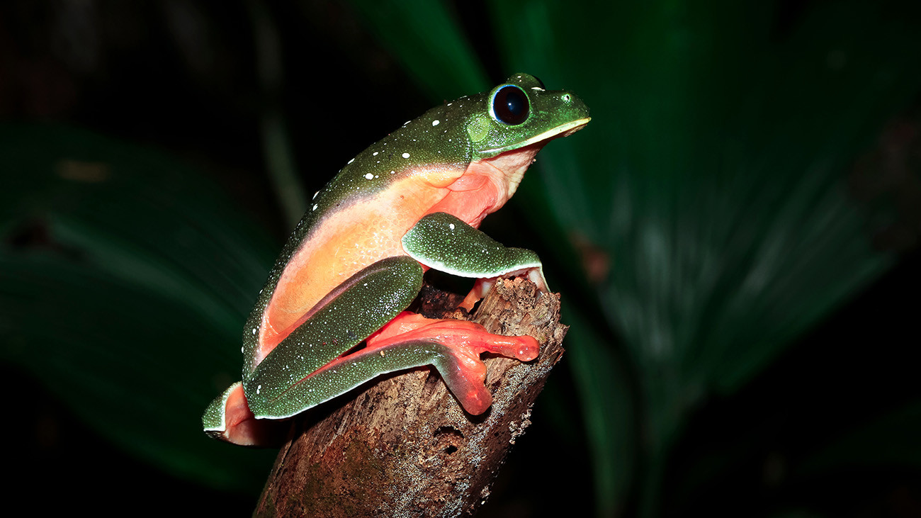 Der Schwarzaugenlaubfrosch, Agalychnis moreletii, kommt von Mexiko bis nach Honduras vor. Auch diese Art hat dramatische Bestandsverluste durch den Chytridpilz erlitten. | Keven Wells Photography, Shutterstock