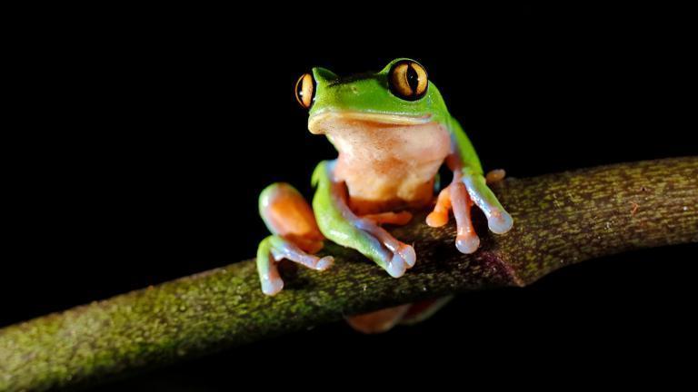 Der Goldaugenlaubfrosch, Agalychnis annae, ist durch den Chytridpilz in großen Teilen des ursprünglichen Verbreitungsgebietes in Costa Rica bereits ausgestorben. | Ondrej Prosicky, Shutterstock
