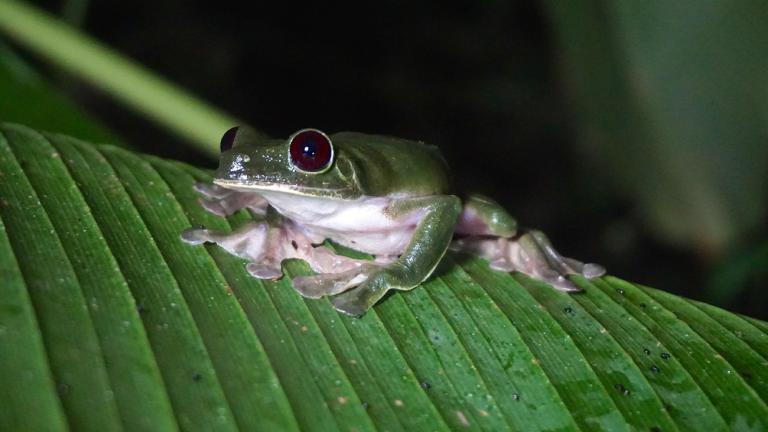 Der Gleitgreiffrosch, Agalychnis spurrelli, lebt im Norden von Südamerika. Er kann größere Entfernungen von Baum zu Baum im Gleitflug überwinden. | Björn Encke, Frogs & Friends