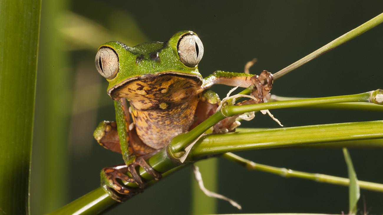 Der Makifrosch, Phyllomedusa hypochondrialis, ist ein charakteristischer Bewohner des Amazonas-Regenwaldes. Die Art ist erfreulicherweise noch weit verbreitet und häufig. | Joe McDonald, Shutterstock