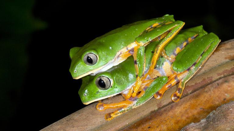 Der Tiger-Makifrosch, Phyllomedusa tomopterna, gehört zu den weit verbreiteten Arten des Amazonas-Tieflands. | Morley Read, Shutterstock