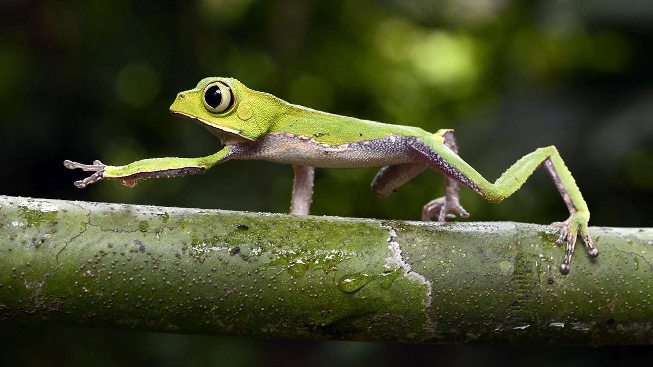Der sehr knochig wirkende Weißlinien-Greiffrosch, Phyllomedusa vaillanti, aus dem Amazonas-Regenwald | Patrick K. Campbell, Shutterstock
