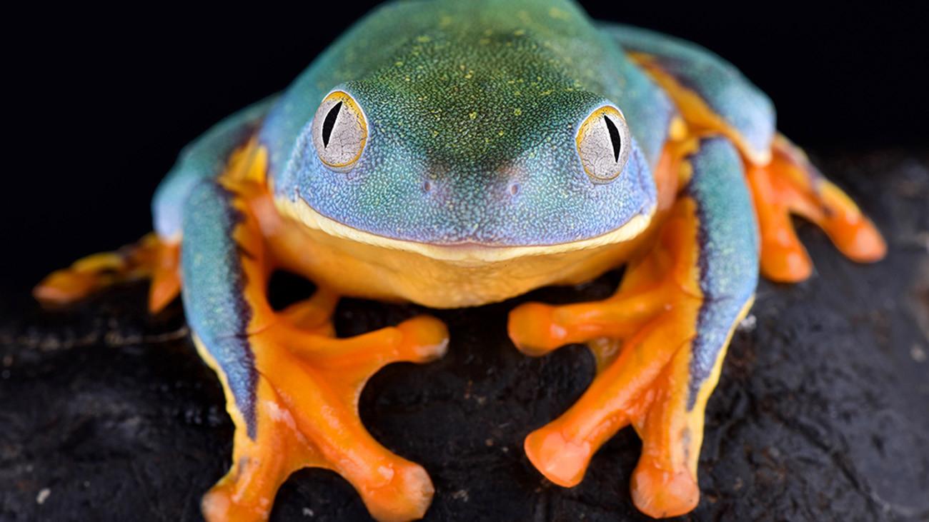 Ein besonders hübscher Greiffrosch ist Cruziohyla calcarifer aus Zentralamerika bis Kolumbien. Mit bis fast neun Zentimeter Länge gehört er zu den größten Vertretern dieser faszinierenden Nachtgeister. | reptiles4all, Shutterstock