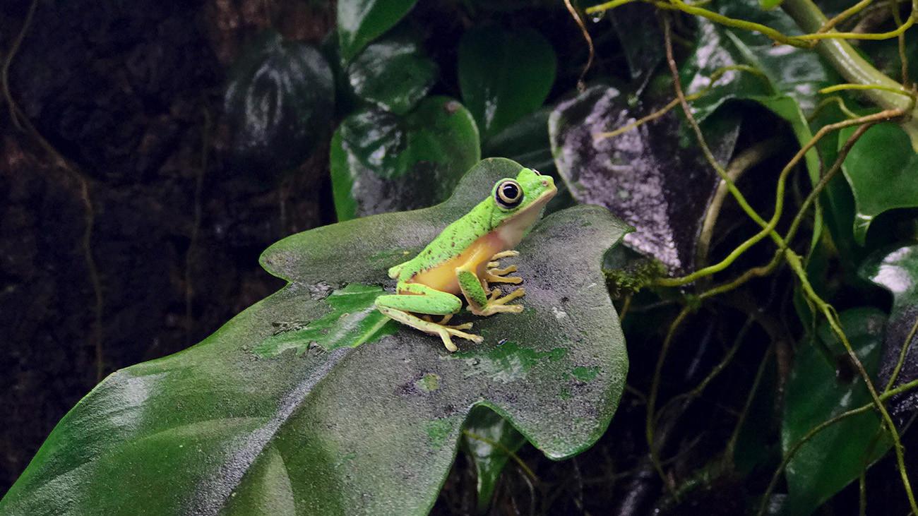 Lemur-Laubfrosch in a terrarium.   Tobias Eisenberg