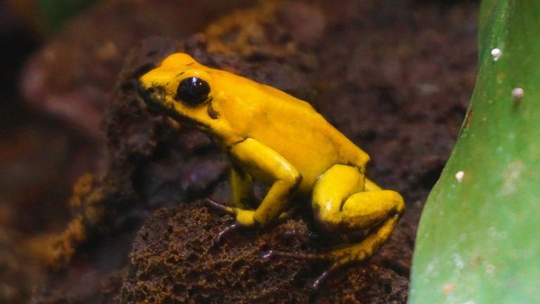 Pfeilgiftfrösche haben ein extrem wirksames Hautgift. Der Schreckliche Pfeilgiftfrosch (Phyllobates terribilis) gilt sogar als giftigstes Wirbeltier der Welt. | Björn Encke, Frogs & Friends