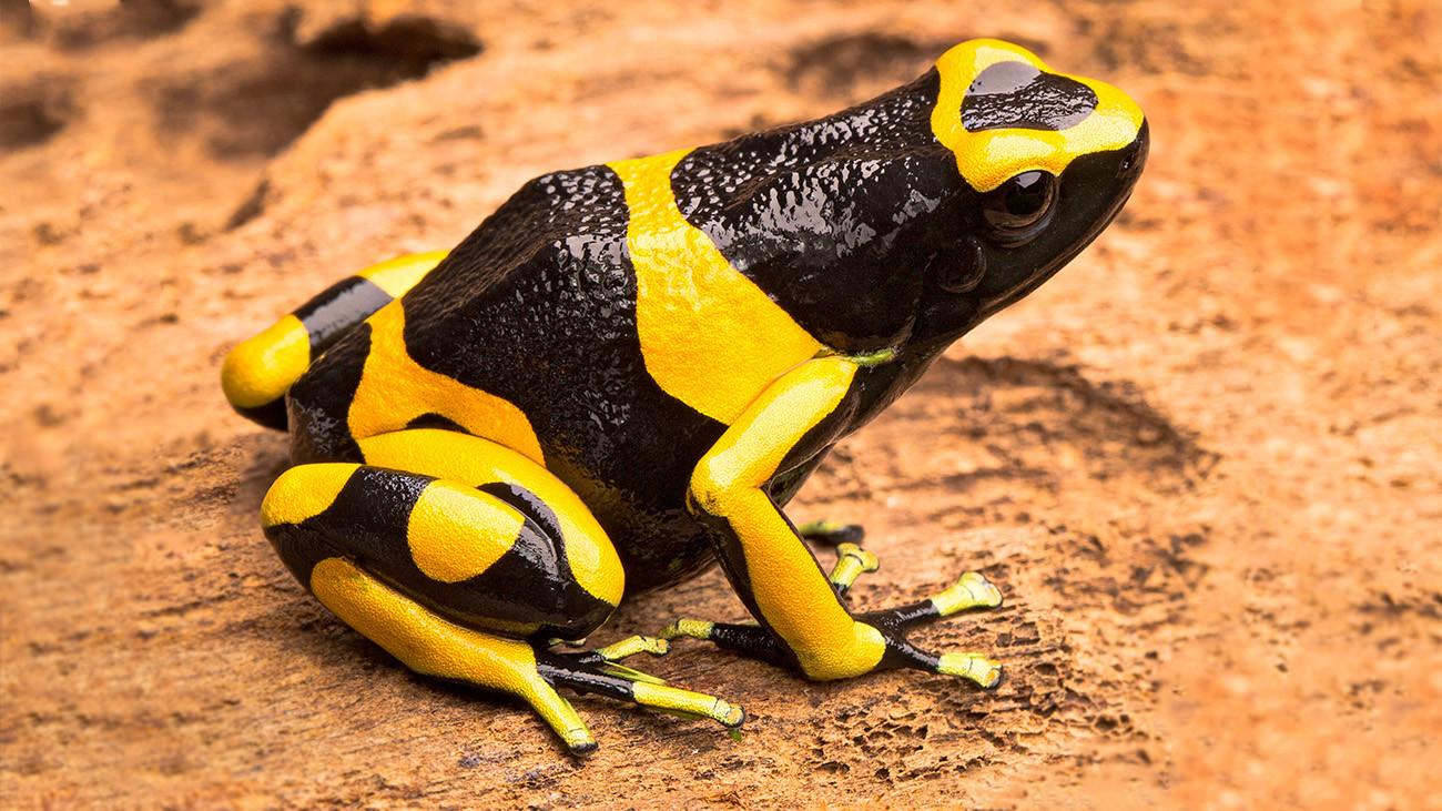 Die Tiere warnen durch ihre auffälligen Farben vor ihrer Giftigkeit, wie dieser Schwarz-Gelbe Baumsteiger, Dendrobates leucomelas. | Dirk Ercken, Shutterstock