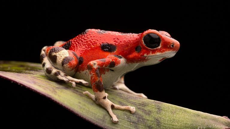Dieses Erdbeerfröschen (Oophaga pumilio) setzt auf den gleichen Warn-Effekt wie der Tafelberg-Baumsteiger: eine leuchtende Rot-Schwarz-Färbung. | Dirk Ercken, Shutterstock