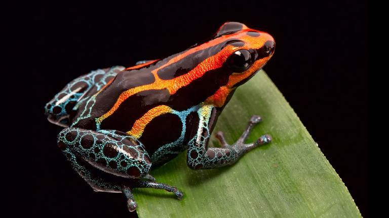 Auch der kleine Amazonas-Baumsteiger (Ranitomeya amazonica) ist alles andere als unauffällig. | Dirk Ercken, Shutterstock