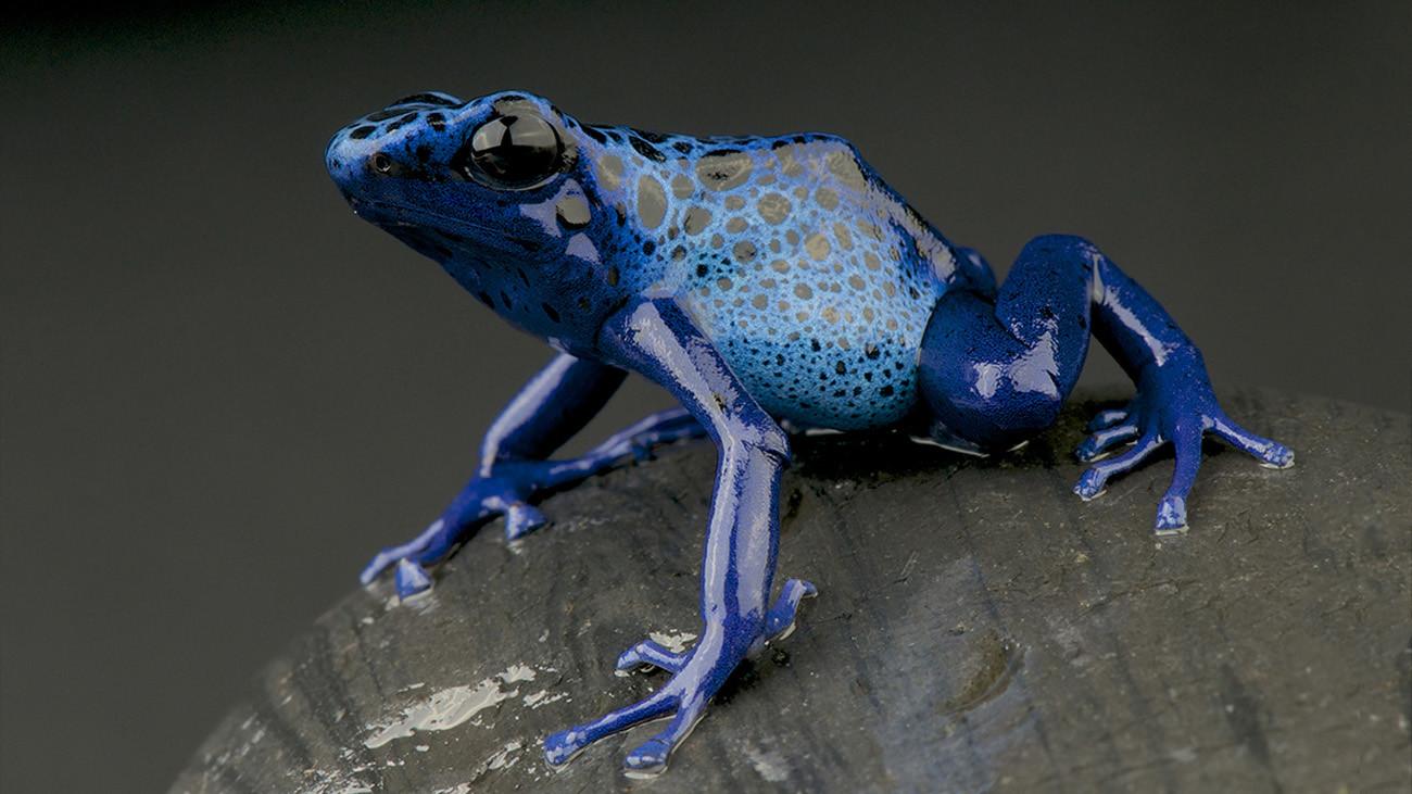 Hauptsache auffällig: Färberfrösche (Dendrobates tinctorius) zeigen sich mal in schockierendem Blau... | reptiles4all, Shutterstock