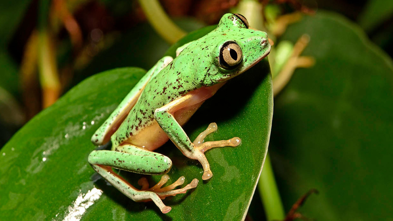 This wave of death also affected the formerly common Lemur Leaf Frog. Today, only remnants of its populations exist in the wild. At Citizen Conservation, people like Tobias Eisenberg are trying to preserve the species. | Benny Trapp, Frogs & Friends