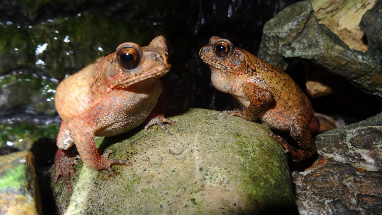 Bony-Headed Toads are well suitable for school zoos | Thomas Ziegler
