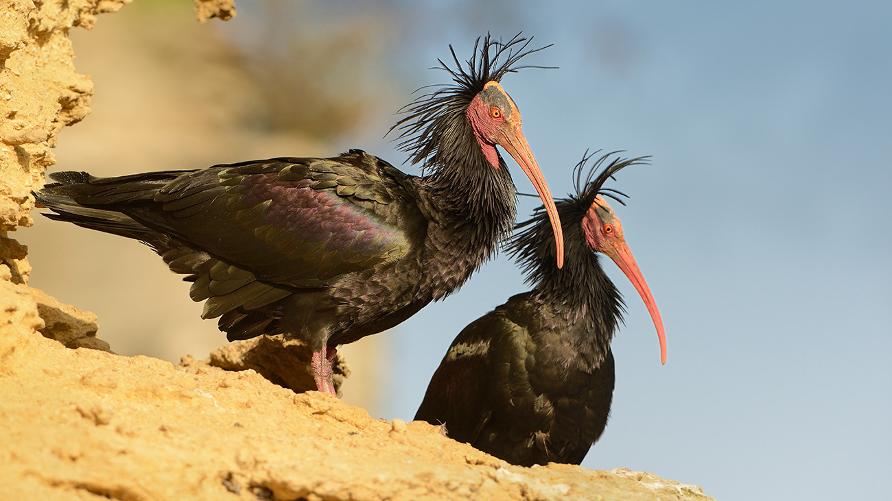 Who is crazier - Wladimir Kaminer or the Northern Bald Ibis he is presenting?