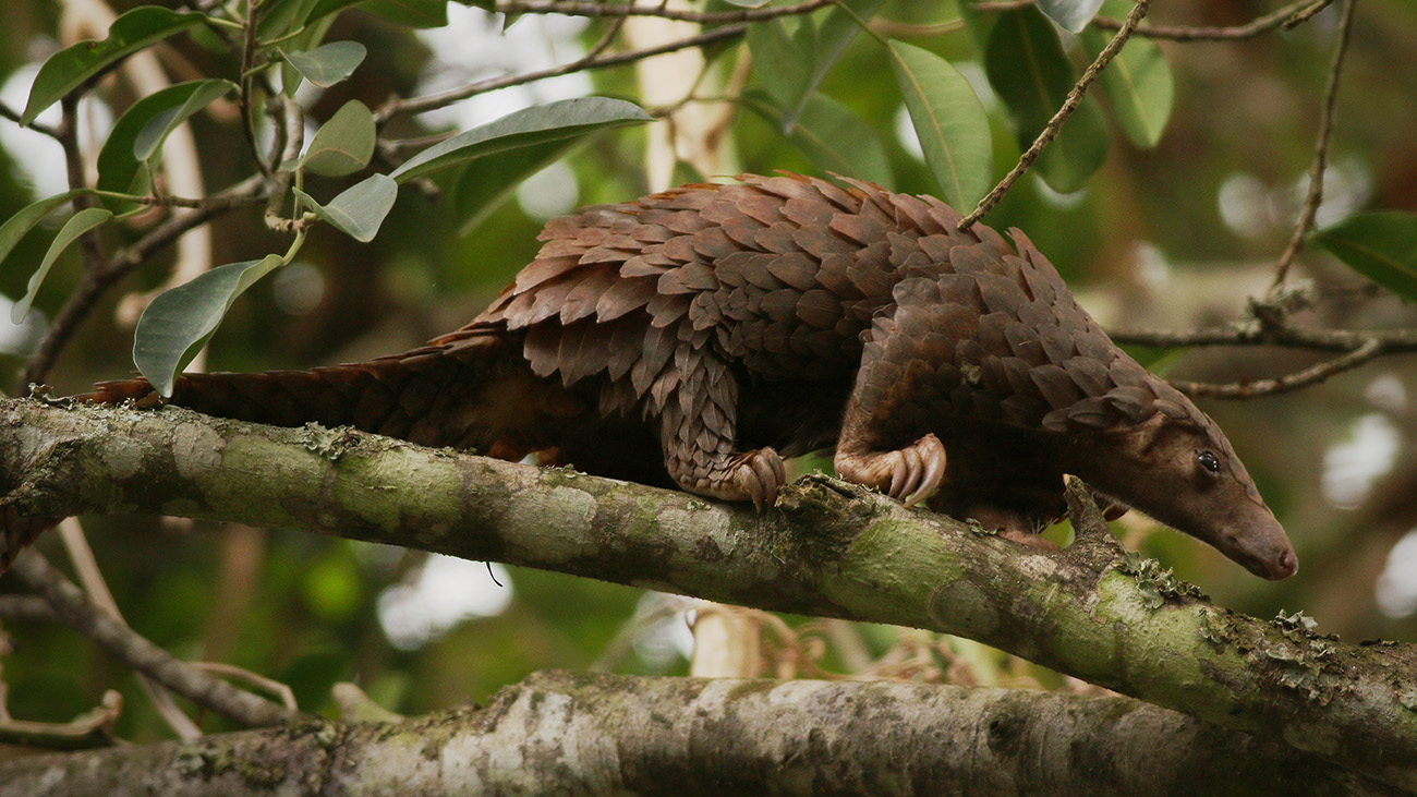 In the spotlight by accident: the pangolin may have transmitted the novel Coronavirus to humans