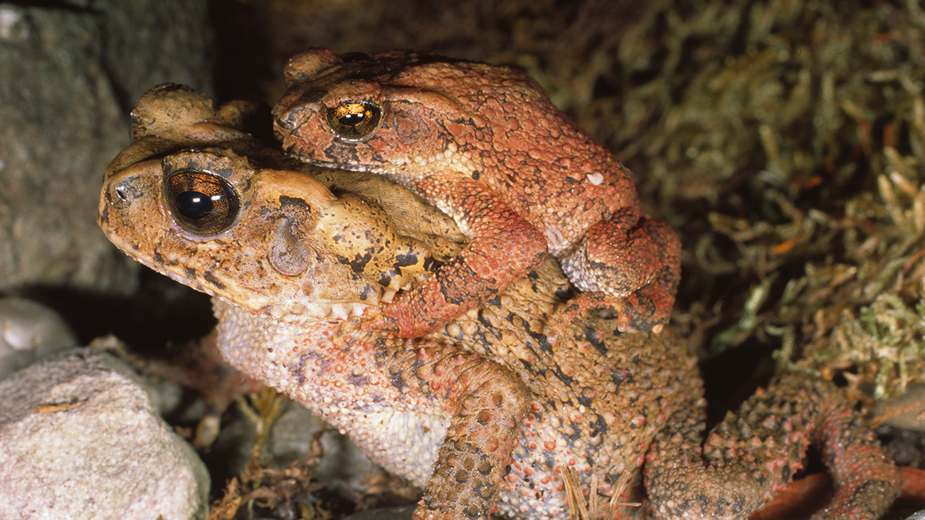 The Bony-headed toads are also slowly getting old enough to start planning a family: The first documented amplexus by a CC participant. | Ole Dost