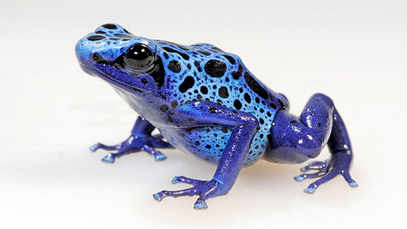 Frogs like this Blue Poison Dart Frog are very popular among dedicated private keepers. A professionally conducted quarantine after import would prevent the introduction of diseases through these beautiful creatures. | Benny Trapp, Frogs & Friends