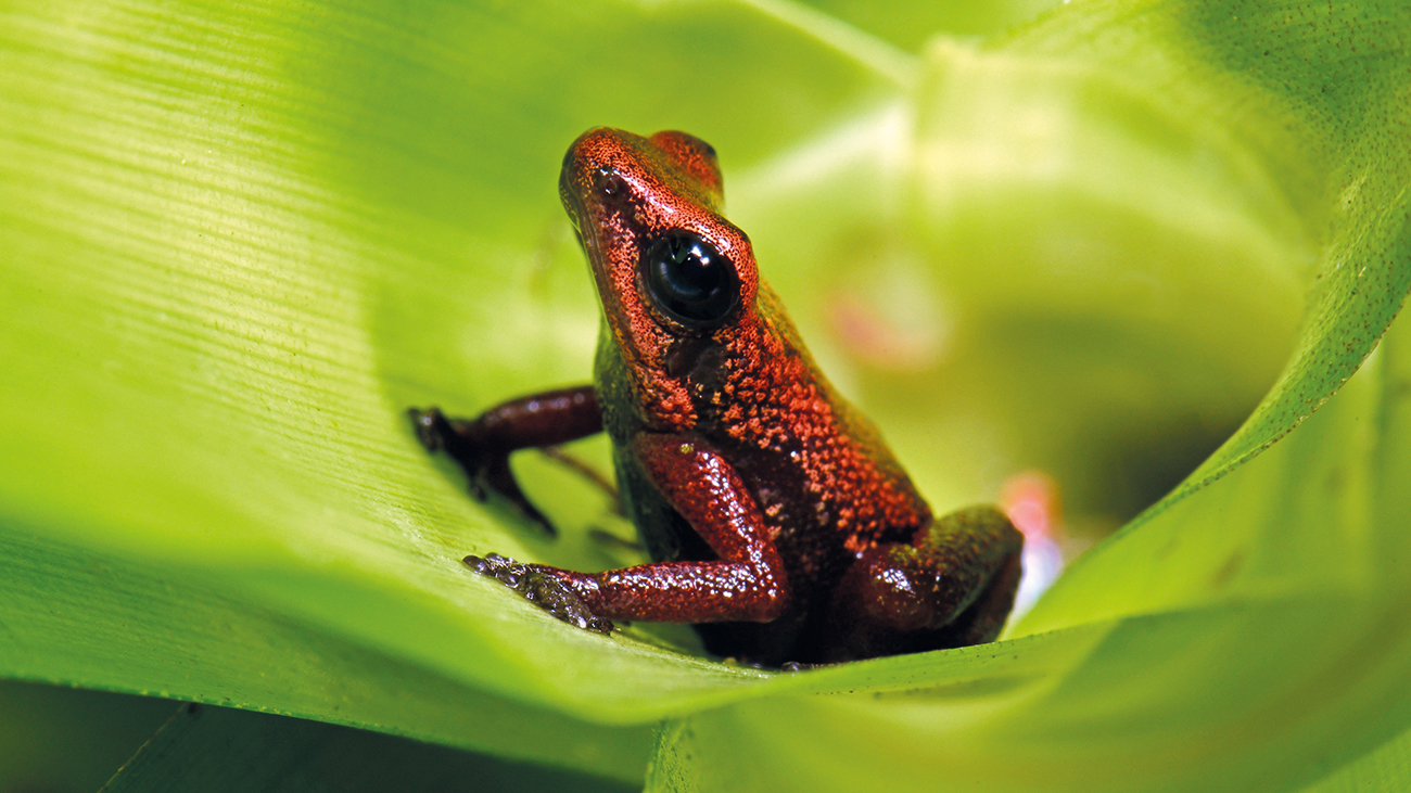 The Demonic Poison Frog is a poison dart frog from Venezuela close to extinction. The only chance for its survival likely depends on its reproduction in conservation breeding projects in human custody. A sweeping import ban for living amphibians would render these efforts impossible.  | Benny Trapp, Frogs & Friends