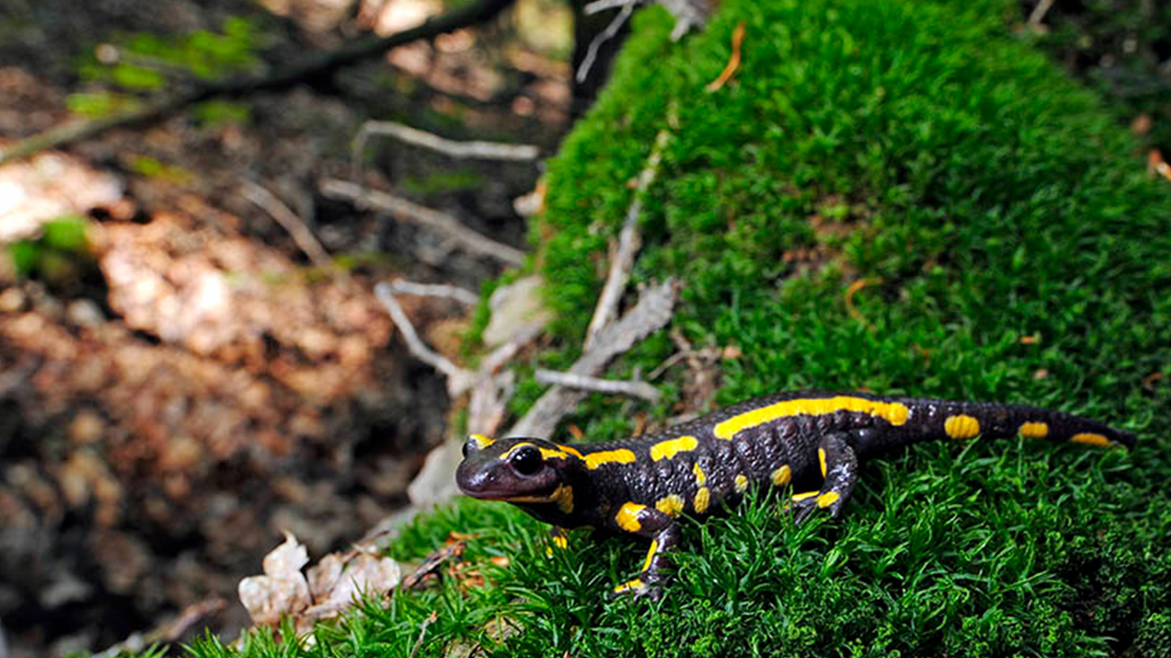 The indigenous Fire Salamander is threatened by a new fungus from Asia | Benny Trapp