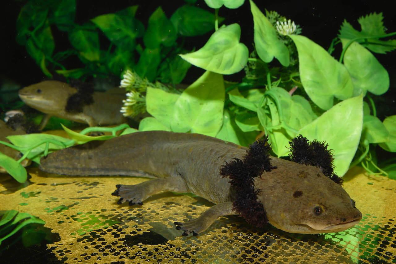 Der Pátzcuaro-Querzahnmolch ist in seiner mexikanischen Heimat akut von Aussterben bedroht. | Benny Trapp, Frogs & Friends