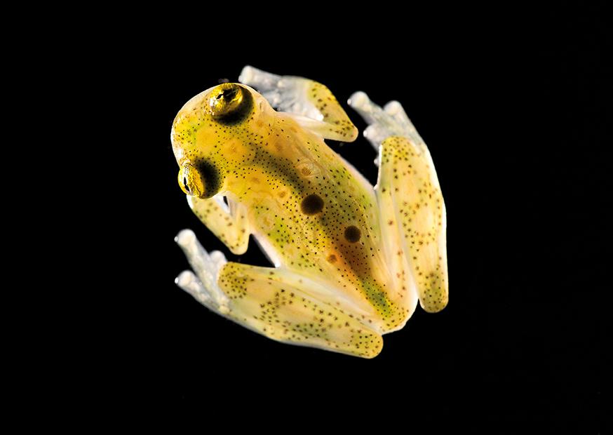 Nr. 11: Der Glasfrosch (Hyalinobatrachium aureogutatum) von oben | Peter Gröne(15x20 Fotodruck in A4 Passepartout)