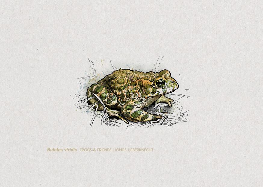 Nr. 2: Die Wechselkröte (Bufotes viridis) | Jonas Lieberknecht(A6 Postkartenformat in Passepartout)
