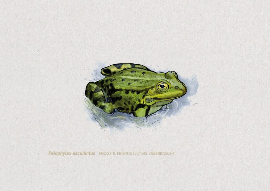 Nr. 3: Der Teichfrosch (Pelophylax esculentus) | Jonas Lieberknecht(A6 Postkartenformat in Passepartout)