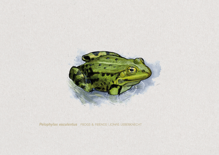 No. 3: Common Water Frog (Pelophylax esculentus) | Jonas Lieberknecht(A6 postcard format in picture mount)