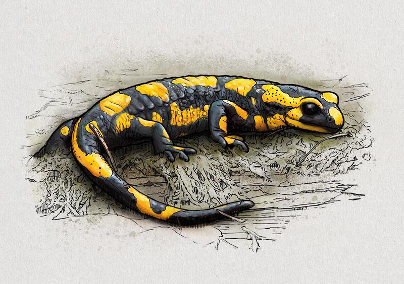Nr. 9: Der Feuersalamander (Salamandra salamandra) | Jonas Lieberknecht(A6 Postkartenformat in Passepartout)