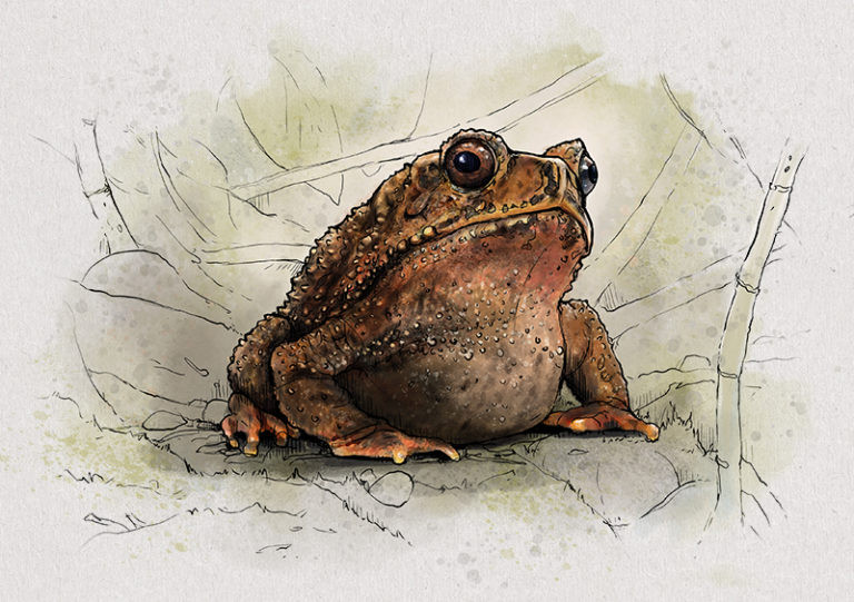 Nr. 4: Die Knochenkopfkröte (Ingerophrynus galeatus) | Jonas Lieberknecht(A6 Postkartenformat in Passepartout)