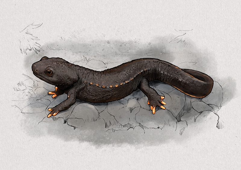 Nr. 8: Der Vietnam-Krokodilmolch (Tylototrion vietnamensis) | Jonas Lieberknecht(A6 Postkartenformat in Passepartout)
