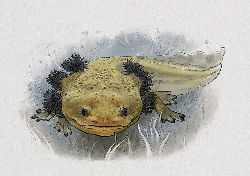 Nr. 5: Der Pátzquaro-Querzahnmolch (Ambystoma dumerilii) | Jonas Lieberknecht(A6 Postkartenformat in Passepartout)